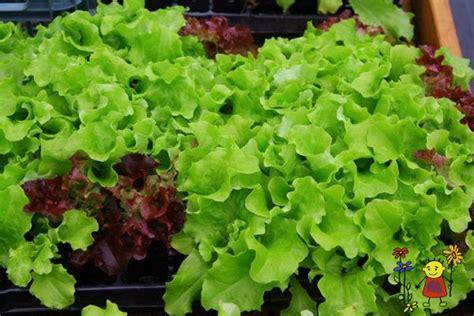 Salāti - Raunas stādi - Dārzeņu stādi