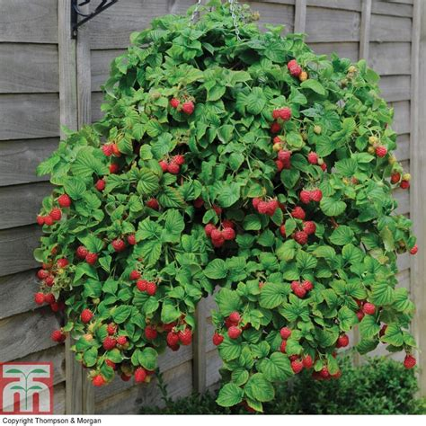 17 best ideas about raspberry plants on
