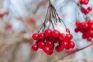 Schneeball Strauch Arten : schneeball im winter ist die pflanze winterhart ~ Frokenaadalensverden.com Haus und Dekorationen