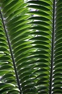 Schmucklilie überwintern Gelbe Blätter : palmfarn sagopalme cycas pflege krankheiten berwintern ~ Eleganceandgraceweddings.com Haus und Dekorationen