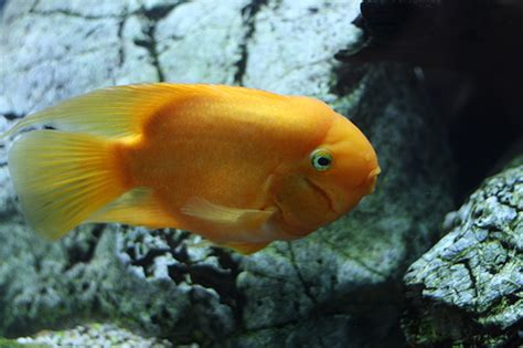 tropical fish orange fish in aquarium flickr photo