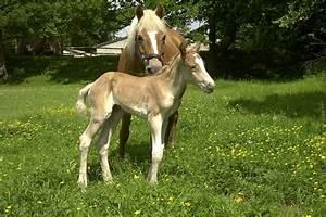 Kostenloses Foto: Haflinger, Fohlen, Stute, Pferde