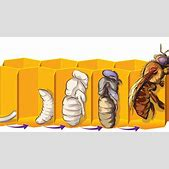 Life cycle of h...