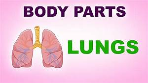 Lungs - Human Body Parts