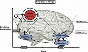 The Effects Of Circulating Glucose On The Brain At An Early Stage Of