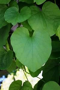 Pflanze Mit Großen Blättern : gespensterpflanze pfeifenblume anzucht pflanzen und pflege ~ Michelbontemps.com Haus und Dekorationen