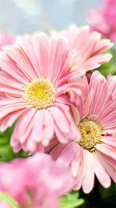 Flower Flowers Daisies Gerbera Wallpapers Pink Iphone