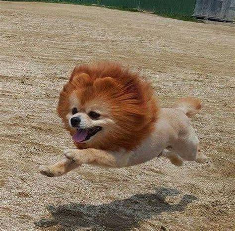 Pomeranian White Fluffy 1