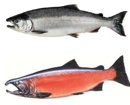 alaska salmon runs types  salmon