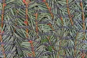 Weihnachtsbaum Wasser Geben : den perfekten weihnachtsbaum kaufen ~ Bigdaddyawards.com Haus und Dekorationen
