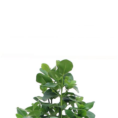 Große Zimmerpflanzen Kaufen by Gro 223 E Zimmerpflanzen Kaufen 123zimmerpflanzen