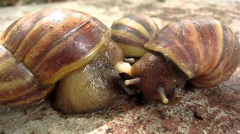 Funny Animal Snail Have Sex Youtube