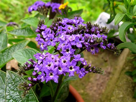heliotrope flower heliotrope plant pictures meanings of heliotrope plants