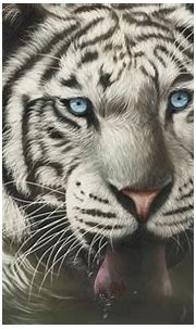 Wallpaper White tiger face, blue eyes, tongue HD, Picture ...