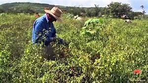 Documental  Cultivo Del Chile De  U00e1rbol Trailer  2