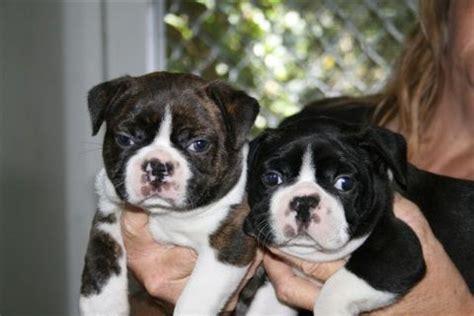 Qld Boston Terrier Club
