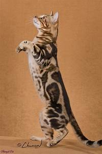 25+ best ideas about White bengal cat on Pinterest ...