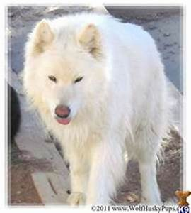 wolf dog hybrid photo | Pictures > Dogs > Primitive Wolf ...