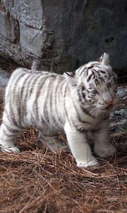 Awesome 25 Best White Tiger Photographic https://meowlogy ...