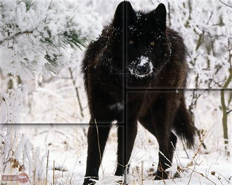 1080p Alpha Wolf Wallpaper by Wolf Wallpapers Animal Spot
