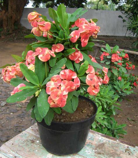 gambar tanaman bunga tanaman bunga pot