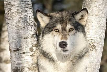 Wolf Wild Droomplekken Dier Dit
