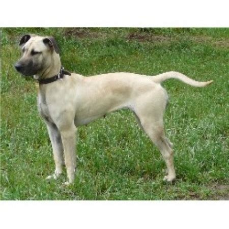 black mouth cur southern cur dog breeds picture