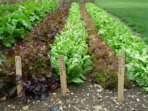 pictures of lettuce growing how to grow lettuce from seed the garden of eaden