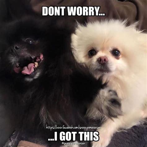 Pomeranian Meme - 62 best images about pomeranian memes on pinterest facebook us and puppys