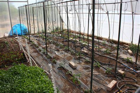 gurken und tomaten im gewächshaus tomaten anbau im gew 228 chshaus und folientunnel plantura