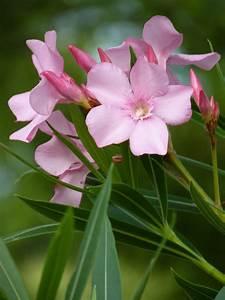 Houston Gardens  Lovely But Poisonous Oleander