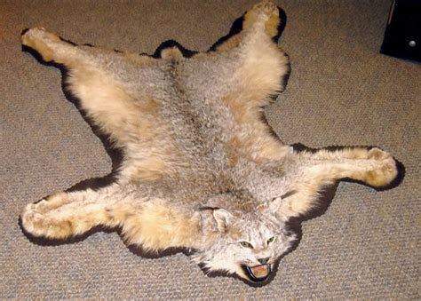 Skin Rug Taxidermy Cost by Mac S Taxidermy Mooseheads For Sale Taxidermy For Sale