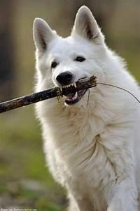 Bébé Loup Blanc : animaux page 5 ~ Farleysfitness.com Idées de Décoration