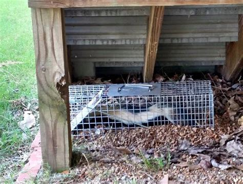 my stinks and sheds a lot remove a skunk the shed porch or deck