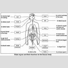 Internal Organs For Kids Free Internal Organs Worksheet  Teaching  Human Body Organs, Human