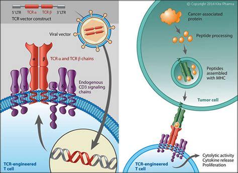 Kite Pharma Anti-cd19 Chimeric Antigen Receptor