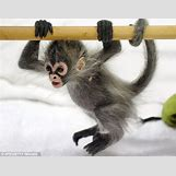 Baby Spider Monkey Pictures | 634 x 495 jpeg 63kB