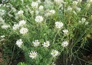 Weiße Dekosteine Garten : pr riegartenstauden cleome spinosa white die spinnenpflanze mit wei er bl te ~ Sanjose-hotels-ca.com Haus und Dekorationen
