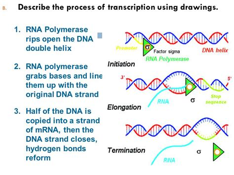 Replication, Transcription And Translation  Ppt Video Online Download