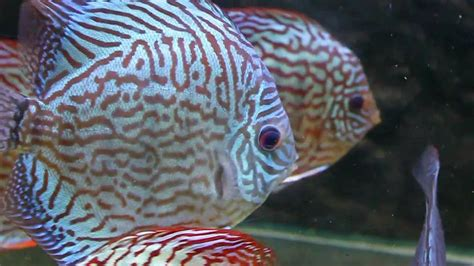 discus fish varieties  sydney discus world aquariums