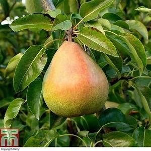 Pear 'Doyenne du Comice' (Mini Fruit Tree) plants ...  Pear