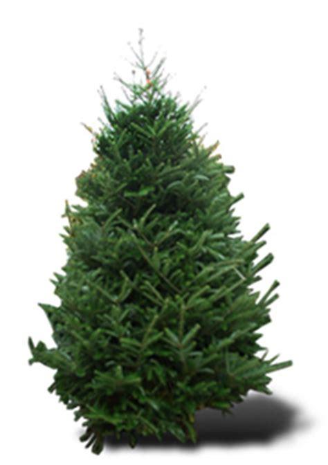 weihnachtsbaum sorten welcher weihnachtsbaum ist der