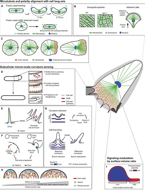 cells sense   shape mechanisms  probe cell