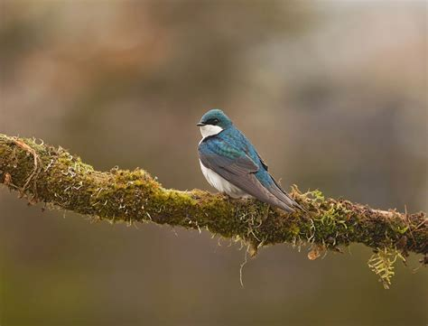 newfoundland nature projects  real beauty  tree swallows