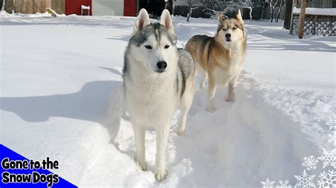 husky playing  snow huskies  deep snow youtube
