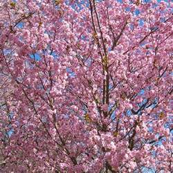 Ornamental Flowering Cherry Trees