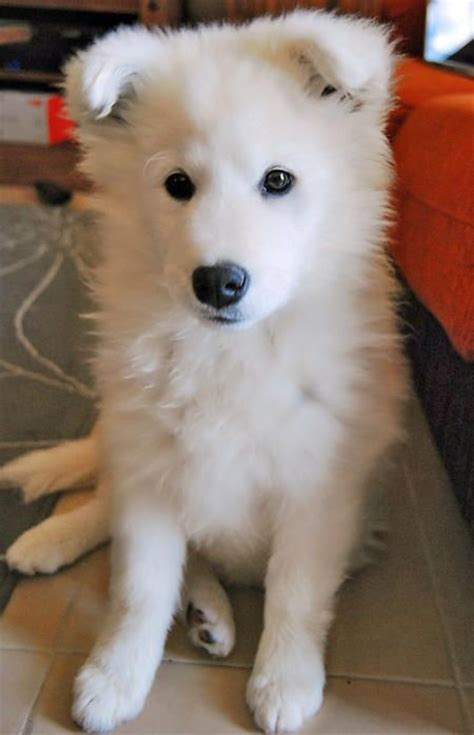 52 Best Breed Love ♥ Samoyed Images On Pinterest Cutest
