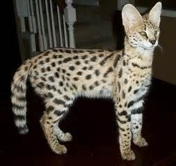 kittens exotic     savannah