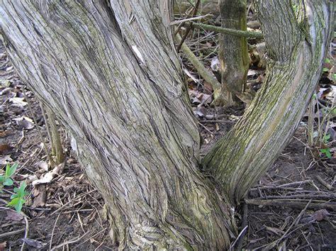 native invasive species purdue fort wayne