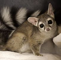 Image result for ring-tailed cat
